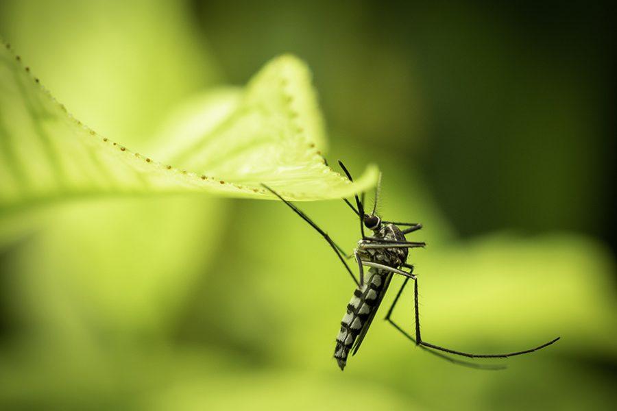 Il Coronavirus non viene trasmesso attraverso le punture di zanzara