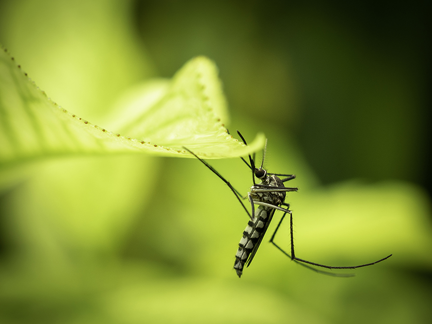 Close up of Aedes Aegypti Mosquito resting on the leaf in garden. Aedes is a genus of mosquitoes transmit serious diseases, including dengue fever, yellow fever, the Zika virus and chikungunya. Aedes originally found in tropical and subtropical zones